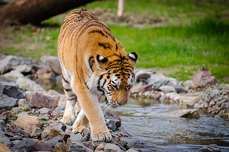 Tiger Near River at Daytime