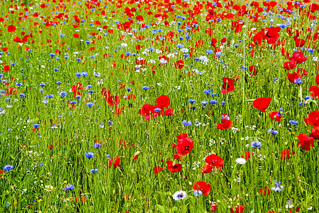 red and blue petaled flower plantation