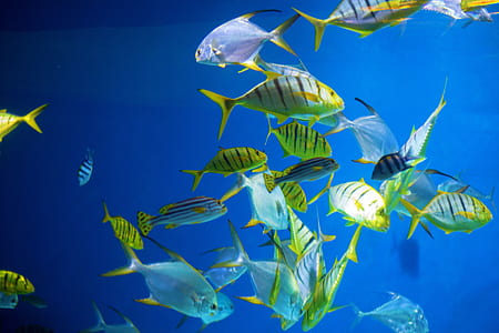school of yellow-and-gray fishes