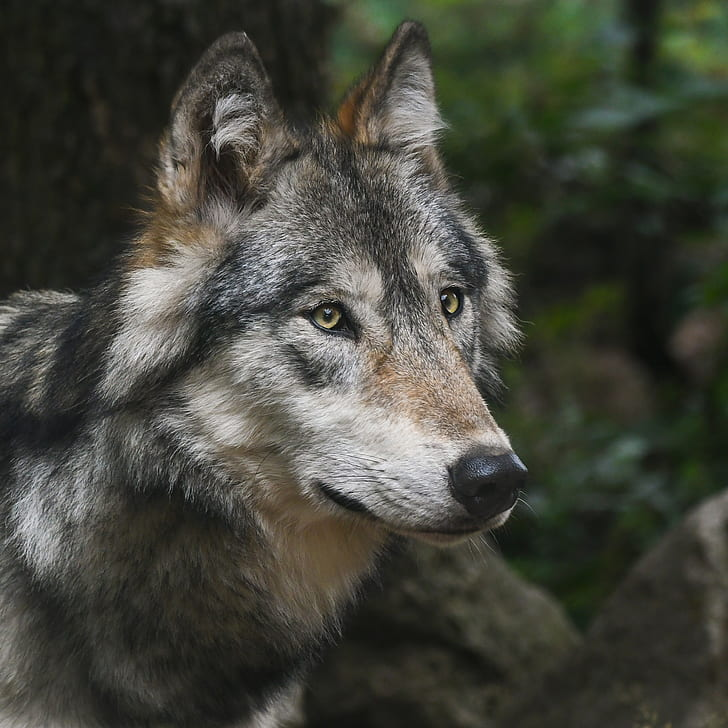 Royalty-Free Photo: Focus Photography Of Grey Wolf