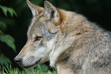 photo of brown and gray wolf