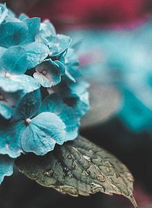 macro photo of teal hydreangeas