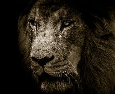 gray lion head photo