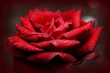 close up photography of red rose