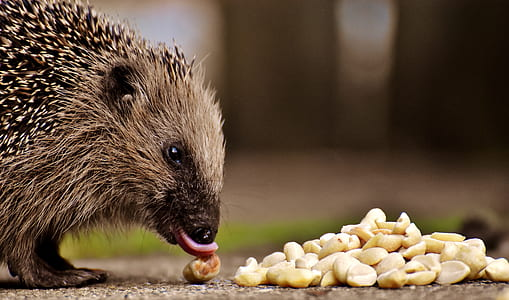 hedgehog on brown surface in front of sliced onions