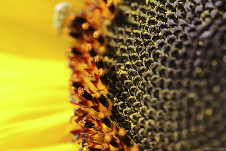 photo of sunflower bloom