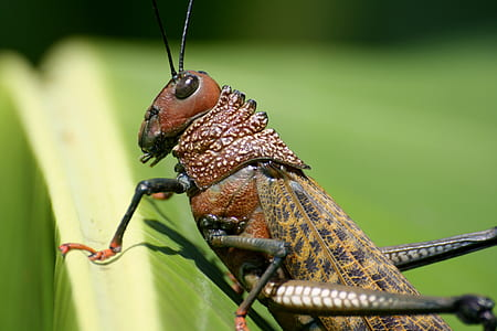 brown locust closeup photography