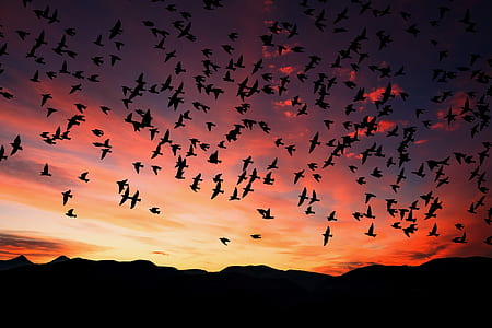 silhouette of flock of birds flying during sunset
