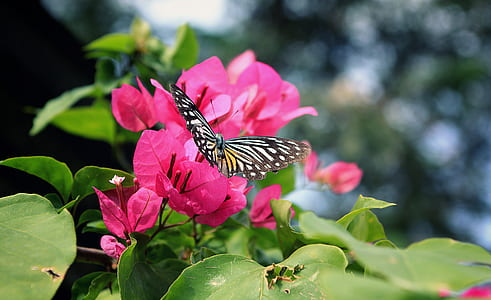 focus photo of butterfly on pink bougainvillea flower