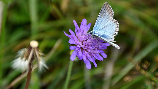 common blue butterfly perching on purple petaled flower in selective focus photography