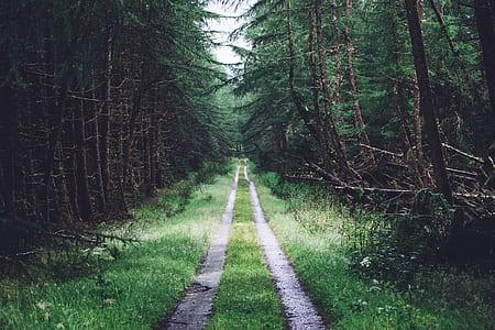 dirt pathway along pine trees