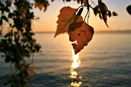 shallow focus photography of brown leaf near body of water during sunset