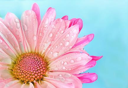 pink chrysanthemum flower in closeup photography
