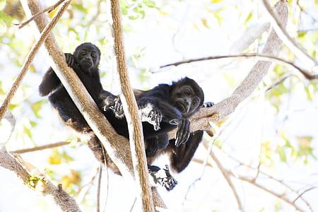 Two Black Monkey Climbing On Tree