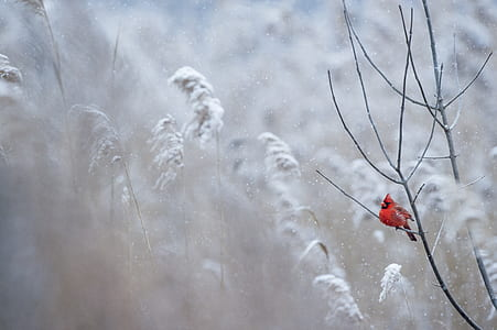 cardinal perched in leafless tree during winter season