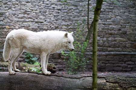 white wolf on black log