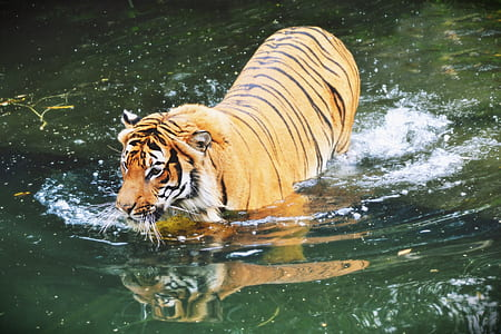 brown and black tiger in body of water