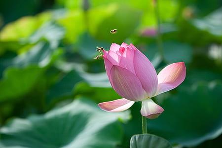 macro photo photo of pink lotus