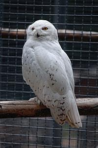white night owl on tree branch
