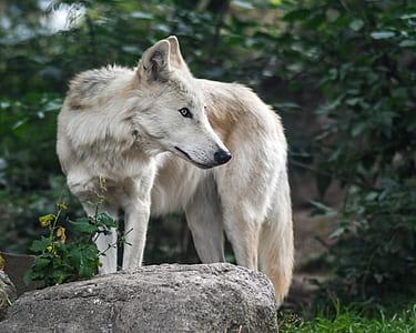 wildlife photo of white wolf