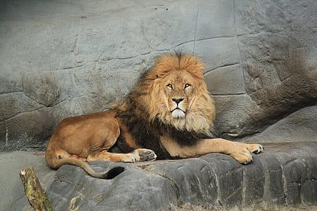 brown lion lying down