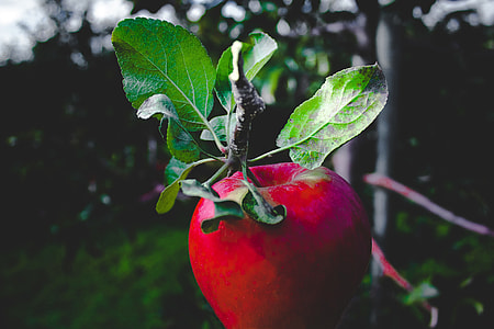 Red apple in a tree