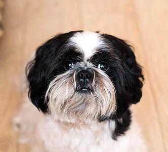 close-up photography of long-coated white and black dog