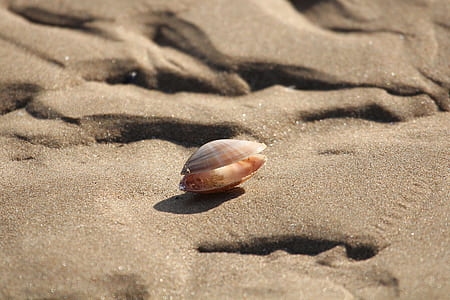 brown sea shell on brown sand