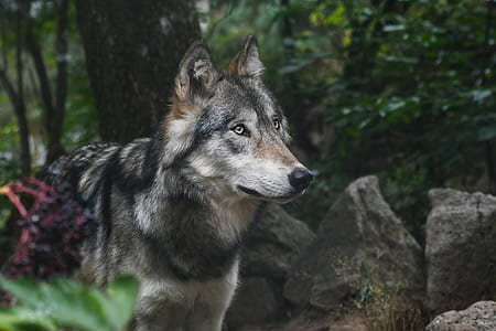 black, brown, and white wolf