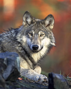 close up photography of gray wolf