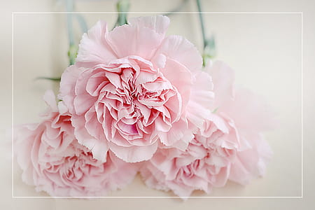 three pink paper flowers