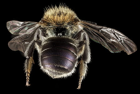carpenter bee in close-up photography