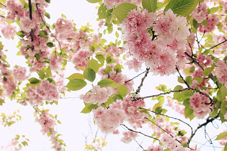pink tree blossoms at daytime
