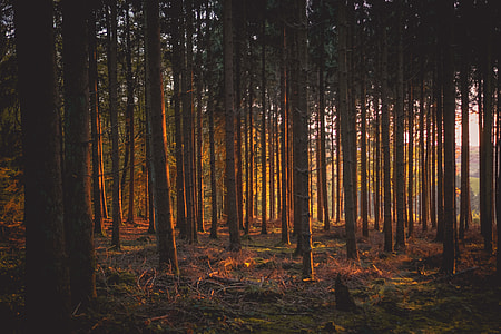 Woodland trees in the forest light