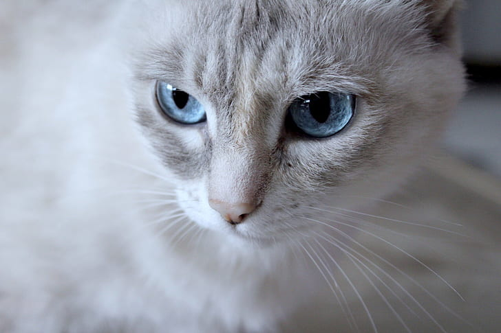 short-fur white and gray cat