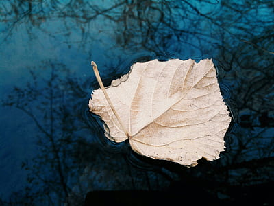 closeup photo of dried leaf on body of water