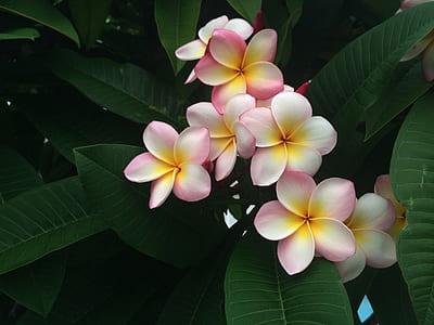 closeup photo of pink-and-white plumeria