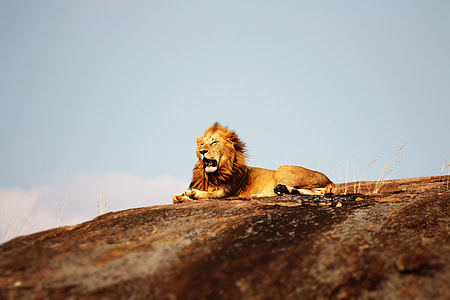 adult lion lying on brown hill during daytime