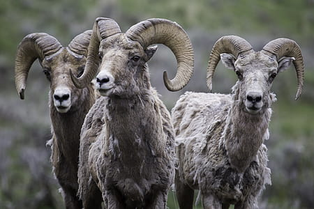 selective focus photography of three gray rams