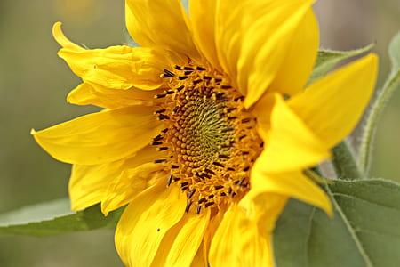 sunflower in macro shot photography