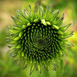 green chrysanthemum flower in closeup photography