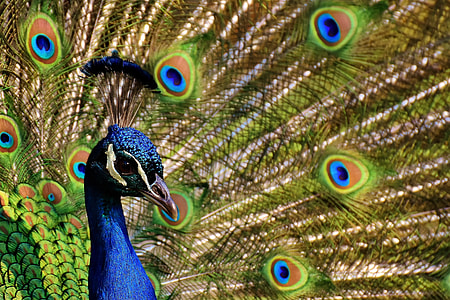 macro photography of blue and green peafowl
