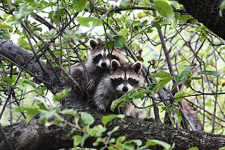 two raccoons on gray tree branch during daytime