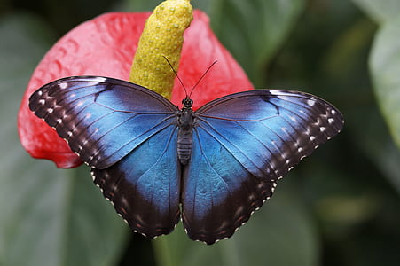 blue morpho butterfly perched on red petaled flower in closeup photography