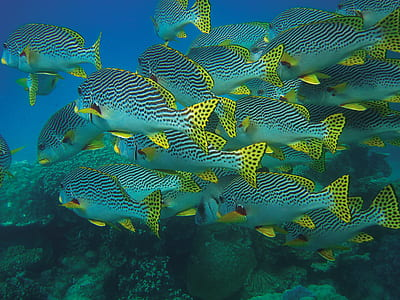 school of gray-black-and-yellow sea fish