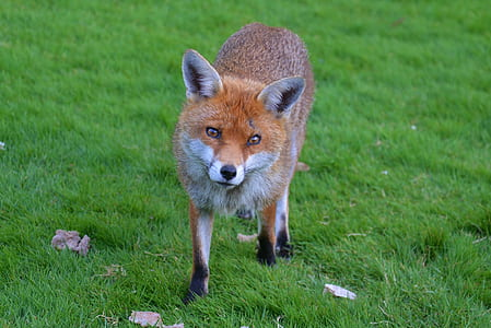 Fox on green lawn