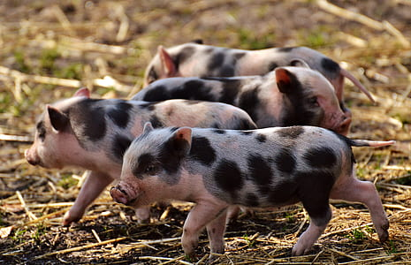 four black-and-pink piglets