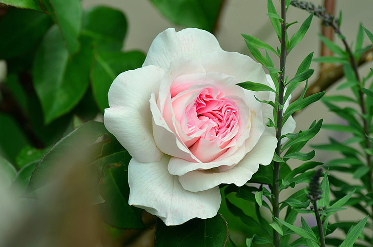 close-up photo of white and pink petaled flower