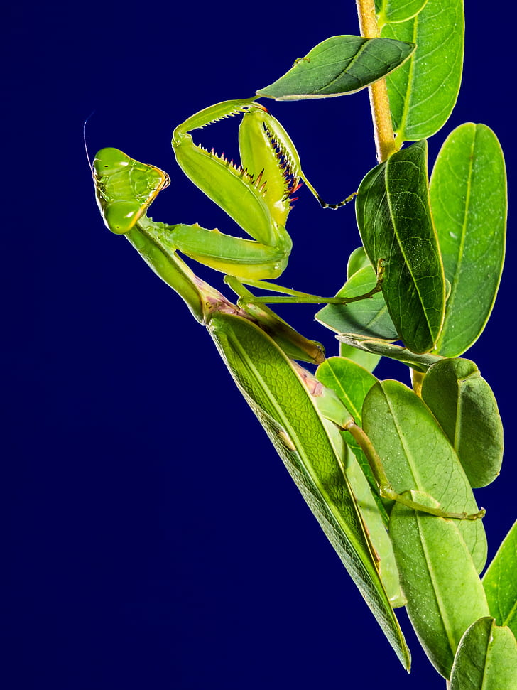 green praying mantis perched on green leaf plant