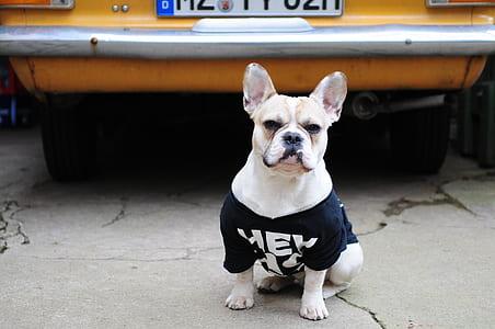 white dog wearing black shirt